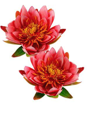 Dekor-Seerose, rosa (Art.Nr.1389447)