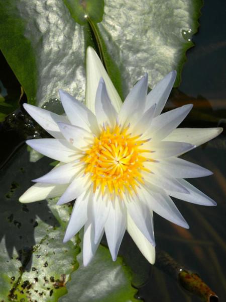 Nymphaea Hybride Hever White, Seerose, Teichrose
