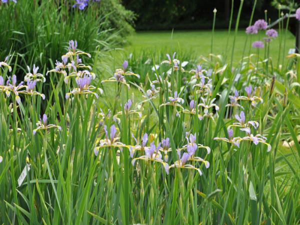 Iris versicolor, verschiedenfarbige Sumpfiris
