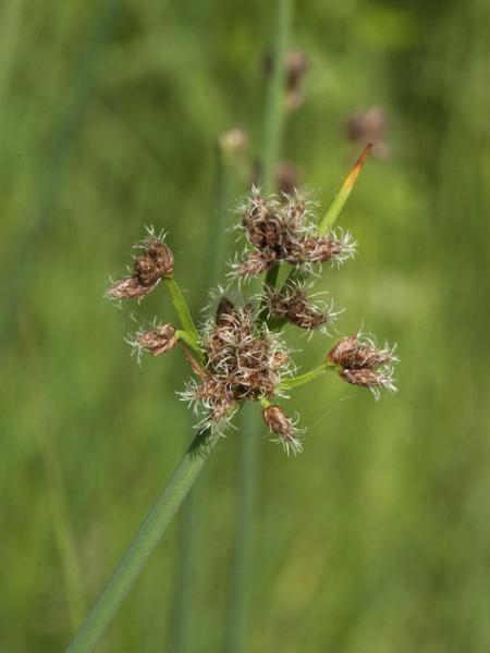 Scirpus lacustris, Teichsimse