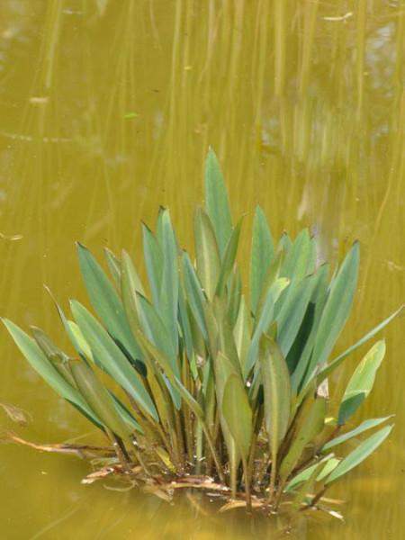 Orontium aquaticum, Goldkeule